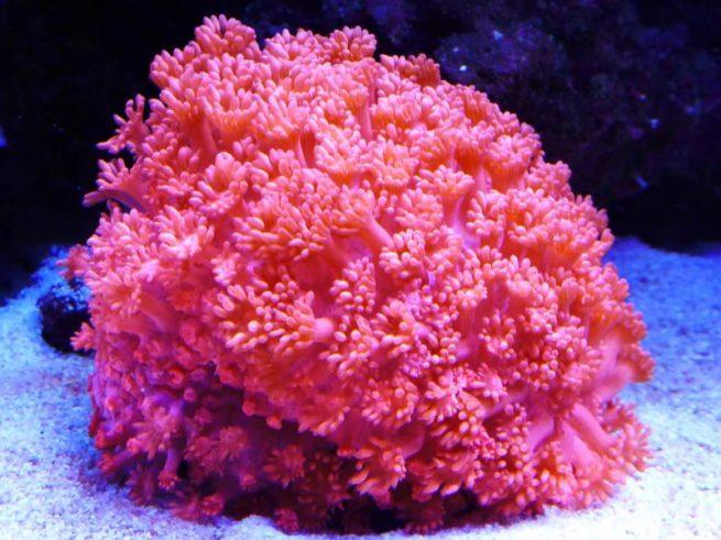 不建议新手养的珊瑚