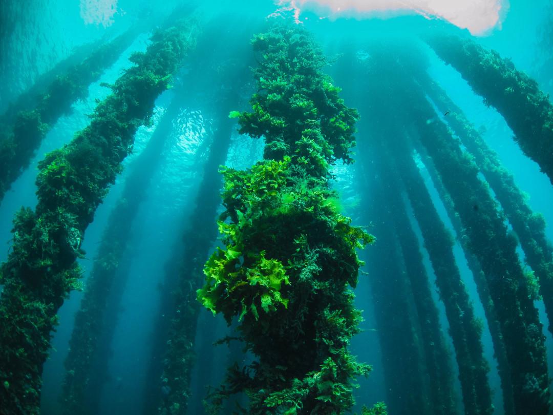 藻缸养什么藻