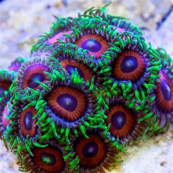 推荐新手养的珊瑚