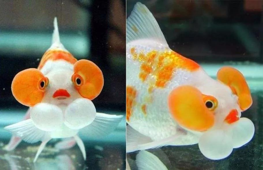 中国人对金鱼的狂热,或许只是一场真实的畸形秀
